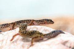 Leopard Gecko lizard on rocks Royalty Free Stock Images