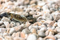 Leopard Gecko lizard on rocks Stock Images