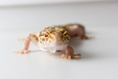 Leopard gecko male. Cute leopard gecko (eublepharis macularius) on neutral background Royalty Free Stock Photo