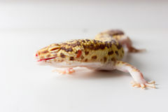 Leopard gecko male. Cute leopard gecko (eublepharis macularius) on neutral background Stock Photo