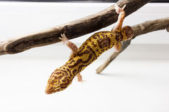 Leopard gecko male. Cute leopard gecko (eublepharis macularius) on neutral background on a tree Royalty Free Stock Images