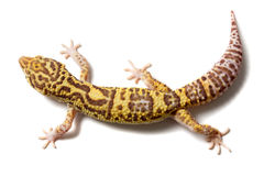 Leopard gecko male. Cute leopard gecko (eublepharis macularius) on white background Stock Photo
