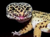 Leopard-Gecko mit den schwarzen und gelben Stellen schließen oben mit der Zunge, die heraus haftet lizenzfreie stockbilder