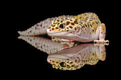 Leopard gecko. Our friendly pet named smiley stock image
