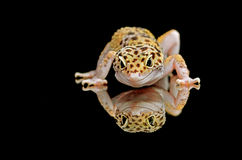 Leopard gecko. Our friendly pet named smiley royalty free stock photography