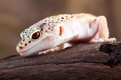 Leopard gecko Stock Image