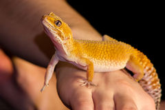 Leopard gecko pet. Cute leopard gecko (eublepharis macularius) on black background Stock Photos
