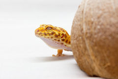 Leopard gecko pet Royalty Free Stock Photography