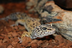 Leopard gecko. A picture of a leopard gecko Stock Image
