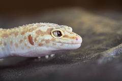 Leopard Gecko Royalty Free Stock Photography