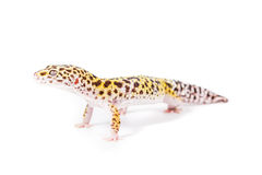 Leopard Gecko. Picture of a leopard gecko isolated on a white background stock images