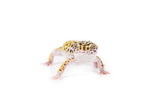 Leopard Gecko. Picture of a leopard gecko isolated on a white background royalty free stock photography