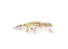 Leopard Gecko. Picture of a leopard gecko isolated on a white background royalty free stock images