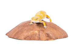Leopard Gecko. Picture of a leopard gecko on a rock royalty free stock photos