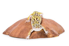 Leopard Gecko. Picture of a leopard gecko on a rock royalty free stock photography
