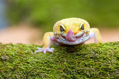 Leopard gecko pokes tongue Stock Photo