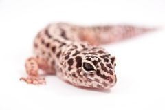 Leopard gecko portrait Royalty Free Stock Photos