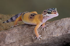 Leopard Gecko on rock. A young leopard gecko is crawling over a rock Royalty Free Stock Images