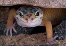 Leopard gecko staring under rock. A young leopard gecko is slowing crawlling out from under a rock Stock Photo