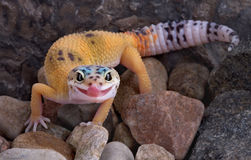 Leopard gecko sticking tongue out. A young leopard gecko is walking over rocks and licking its lips Stock Image