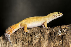 Leopard gecko on a tree trunk Stock Photography