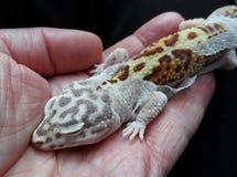 Leopard-Gecko-Verschütten Stockbilder