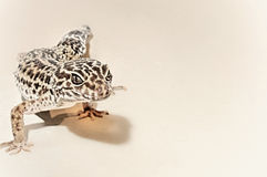 Leopard gecko on white background isolated. Gecko on sepia Background closeup stock images