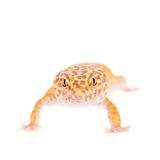 Leopard Gecko on a white background Royalty Free Stock Photos