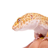 Leopard Gecko on a white background Stock Image