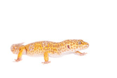 Leopard Gecko on a white background Stock Photos