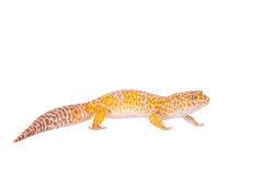 Leopard Gecko on a white background Stock Photo