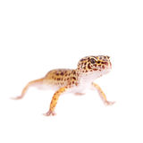 Leopard Gecko on a white background Royalty Free Stock Image