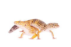 Leopard Gecko on a white background Royalty Free Stock Photo
