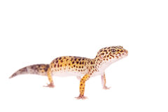 Leopard Gecko on a white background Royalty Free Stock Photography