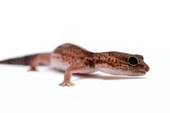 Leopard gecko on white Stock Images