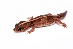 Leopard gecko on white Stock Photo