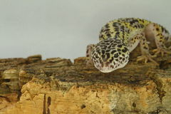 Leopard gecko on wood. Male Leopard gecko climbing on wood with white background Stock Photo