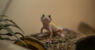 Smiling leopard gecko on the wooden shelter stock image