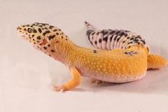 Leopard geckos open mouth Stock Images