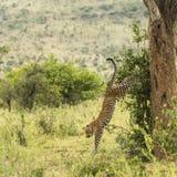Leopard getting down of a tree, Serengeti, Tanzania Stock Photo