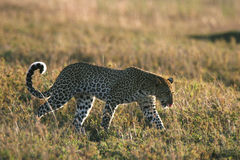 Leopard in grass Stock Photos