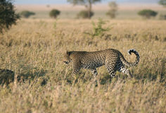 Leopard in grass Royalty Free Stock Photo