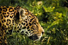 Leopard in grass Royalty Free Stock Images