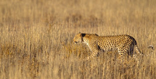 Leopard in grass Royalty Free Stock Image