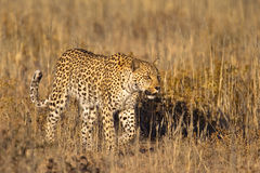 Leopard in grass Royalty Free Stock Photography