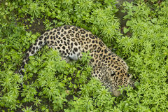 Leopard on the grass looking in camera Stock Photos