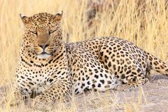 Leopard in the Grass Royalty Free Stock Images
