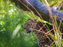 Leopard in grass Stock Images