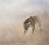 Leopard in The Grass Stock Photos