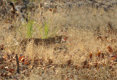 Leopard in grasses of Pench National Park Royalty Free Stock Images